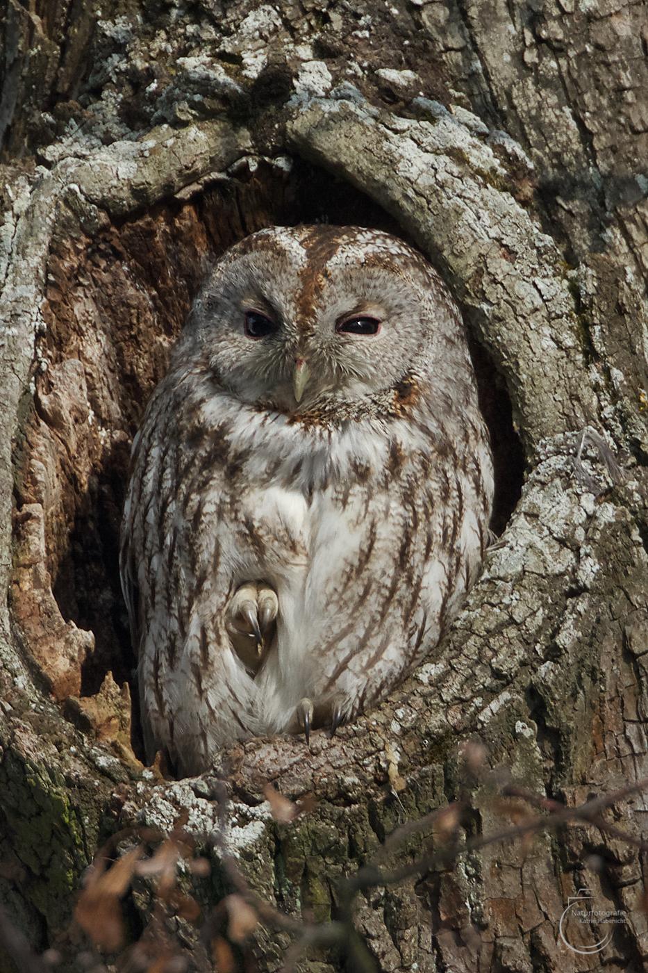 Vogel des Jahres – der Waldkauz